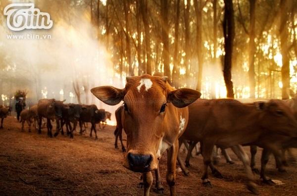 Đàn bò vào sáng sớm