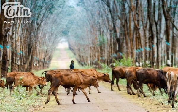 Đàn bò lững thững bước đi