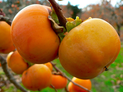 http://www.chuabuuminh.vn/userimages/2011/06/15/1/persimmon-tannin.jpg
